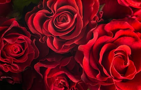 Photograph of roses