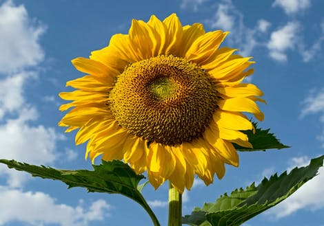 Giant Sunflower