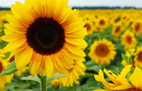 Photograph of sunflowers