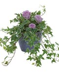Ivy Plant with fresh roses