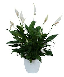 Peace Lily Plant in Decorative Container