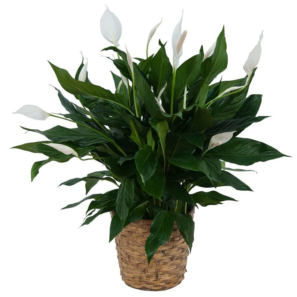 Peace Lily Plant In Basket Mobile Florist Flowers Mobile Al