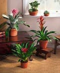 x-Tropical Blooming Bromeliad Plant